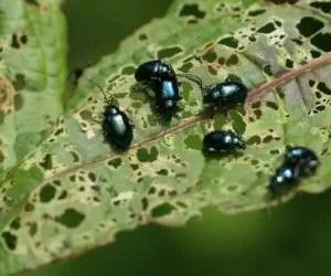 Danni altica sulle foglie di ravanello