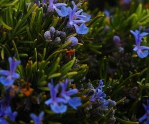 Fiori della coltivazione di rosmarino