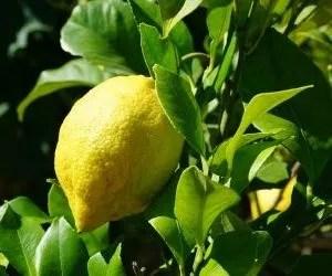 Foglie della pianta di limone