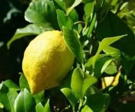 Come Coltivare Una Pianta Di Limone Coltivazione Biologica