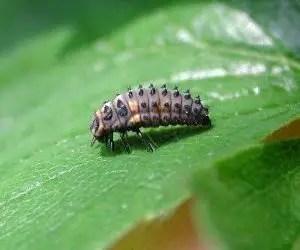Larva di coccinella