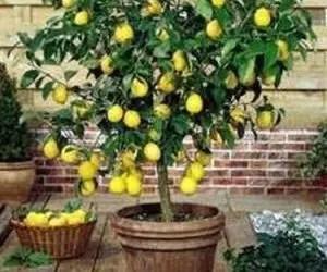 Pianta di limone in vaso da esterno