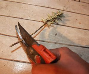 Taglio della talea di rosmarino