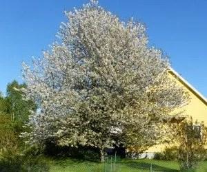 Come coltivare un albero di ciliegie