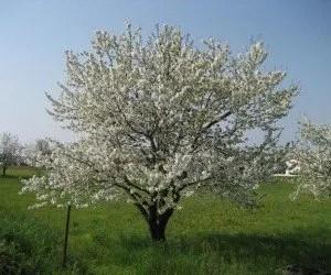 Fioritura del ciliegio