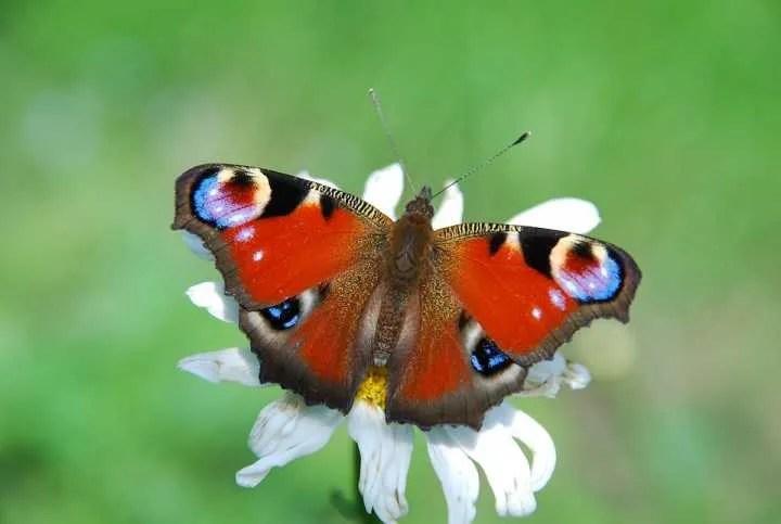 Farfalla Inachis Io