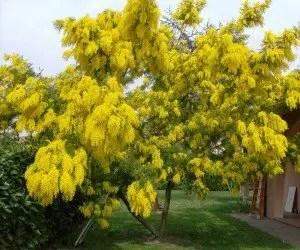 Come Coltivare Un Albero Di Mimosa In Giardino O In Vaso