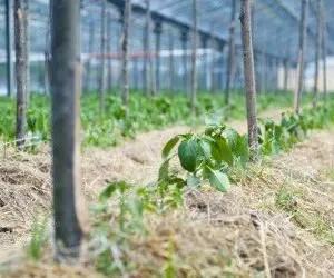 Come coltivare i peperoni biologici con supporti e pacciamatura