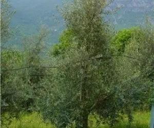 La potatura olivo a forma monocono