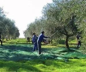 Raccolta delle olive con abbacchiatore