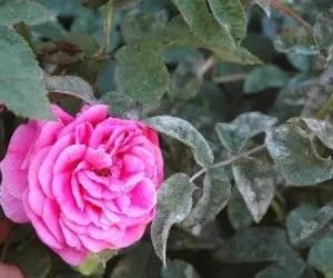 Rosa colpita da oidio