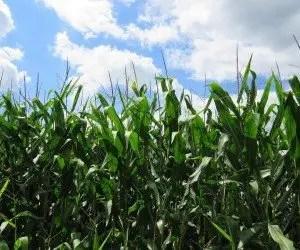 Coltivazione del mais