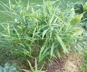 Come coltivare lo zenzero zingiber officinalis