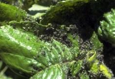 Come eliminare gli afidi specie Myzus cerasi