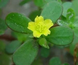 Fiore e foglie di Portulaca oleracea