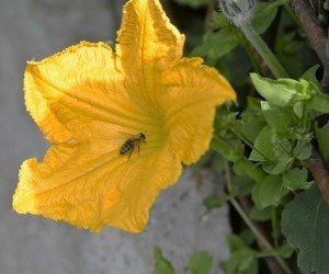 Impollinazione fiore maschile di zucca