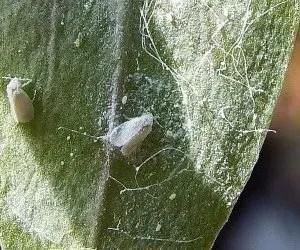 Mielata della mosca bianca