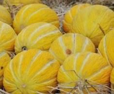 Melone cantalupi