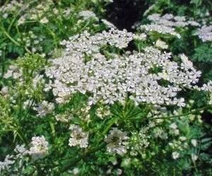 Piante velenose Conium maculatum