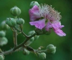 Fiore di mora di rovo