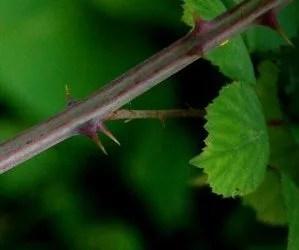 Sarmenti e foglie di more di rovo