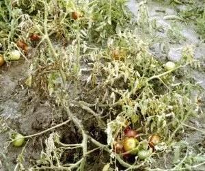Pianta di pomodori colpita da marciume del colletto