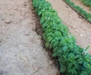 Piante di basilico pronte per la raccolta
