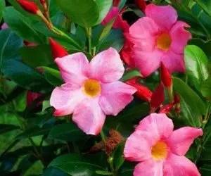 Piante da fiore Dipladenia sanderi