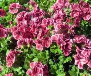 Piante da fiore Geranio pelargonium