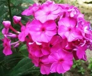 Piante da fiore Phlox drummondii