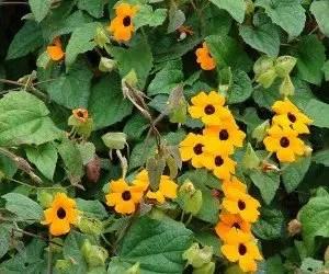 Piante da fiore Thunbergia alata