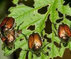 Popillia japonica danni alle colture