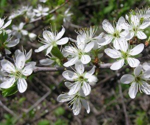 Fiori di prunus spinosa
