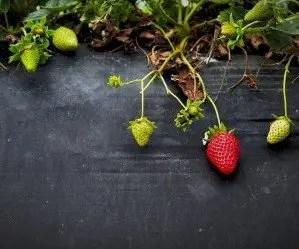 Come coltivare le fragole con pacciamatura