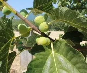 Foglie e frutti di fico
