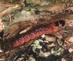 Larva di rodilegno rosso