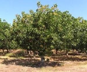 Impianto di alberi di pistacchio