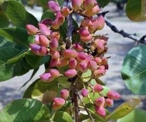 frutti del pistacchio