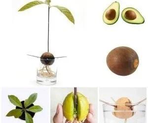 Avocado riproduzione per seme