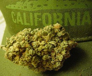 Cannabis californiana
