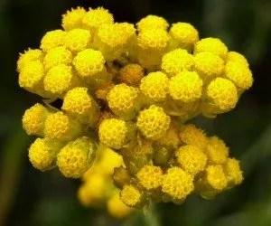 Fiore di elicriso