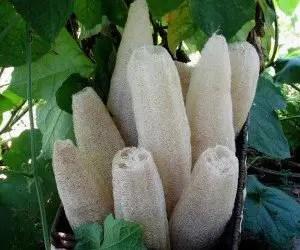 Luffa spugna vegetale
