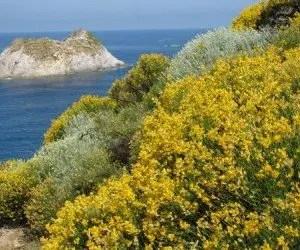 Macchia di ginestra a picco sulla costa