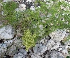 Pianta di Asparagi selvatici