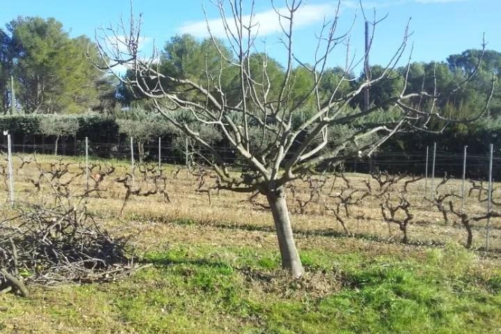 La potatura del fico come intervenire in modo corretto for Potatura del melo