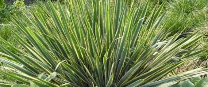 Coltivazione della yucca