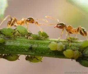 Formiche che allevano afidi