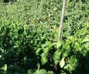 Pomodori e peperoni legati con i pali