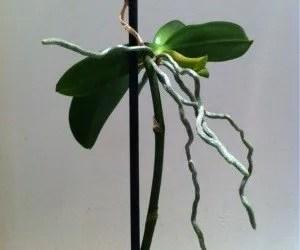 Radici orchidea