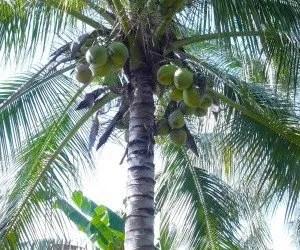 Palma di cocco